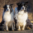 Border collie dogs — 图库照片