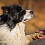Border collie dog — Stock Photo