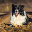 cão border collie — Foto Stock #40187551