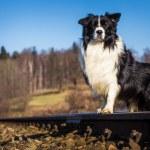 Border collie dog — Stock Photo #40187721