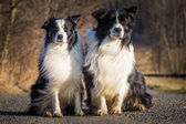 Border collie dogs — Stock Photo