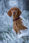 Hungarian hound dog in winter — Stock Photo