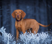 Hungarian hound dog in winter — Stock Photo