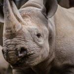 Rhinoceros — Stock Photo #41101181