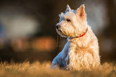 Westie dog — Stock Photo