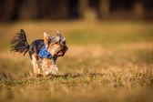 Yorkshire-hund — Stockfoto