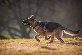 Německý ovčák pes — Stock fotografie