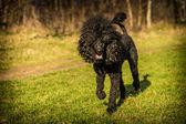 Royal poodle dog — Stockfoto