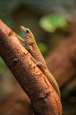 Gecko lizard — Stock Photo