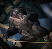 Monkey chimp — Stock Photo