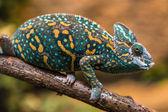 A veiled chameleon lizard — Stock Photo