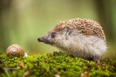 Eastern European Hedgehog and snail — Stock Photo