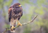 Buzzard bird — Stock Photo