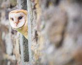 Barn Owl bird — Stock Photo