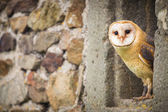 Barn Owl bird — Stock Photo