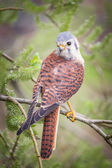Kestrel varied bird — Stock Photo