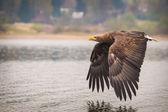 Seeadler-vogel — Stockfoto