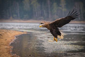 Sea eagle bird — Stock Photo