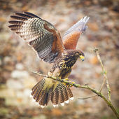Buzzard bird — Stock Photo