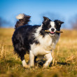 chien border collie — Photo