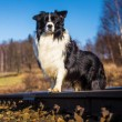 Border collie dog — Stock Photo