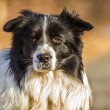 cão border collie — Foto Stock