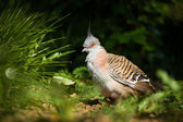 Dove bird — Stock Photo