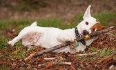 Jack russell terrier sopa kemiren — Stok fotoğraf