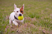 Jack russell terrier with ball — Stock Photo