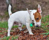 Jack russell terrier gnawing stick — Stock Photo