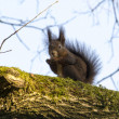 Squirrel eating a nut on a branch of a tree — Stock Photo #42741959