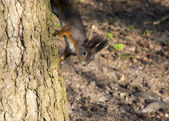 Squirrel descent from a tree — Stock Photo