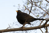 Blackbird (Turdus merula) sitting on a branch — Stock Photo