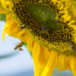Sunflower with bees harvesting pollen — Stock Photo