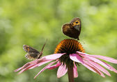 Couple of Gatekeeper butterflies on a pink cone-flower — Stock Photo
