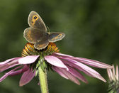 Gatekeeper butterfly on a pink cone-flower — Stock Photo