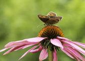 Gatekeeper butterfly on top of a cone-flower — Stock Photo