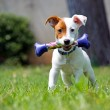 Jack Russel — Stock Photo #36015825