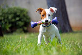 Jack Russel — Stock Photo