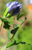 Praying mantis — Stockfoto