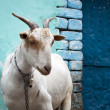 Stock Photo: City goat