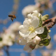 Stock Photo: Bee on a white flower apple tree in spring