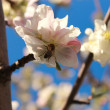 Bee on a white flower apple tree in spring — Stock Photo