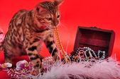 Bengal cat and Jewellery — Stock Photo