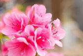 Flor de azalea — Foto de Stock