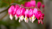 Heart Flower or Bleeding Heart Flower — Стоковое фото