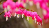 Herz Blume oder blutendes Herz Blume — Stockfoto