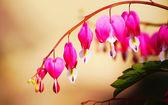 Heart Flower or Bleeding Heart Flower — Foto Stock