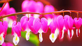 Heart Flower or Bleeding Heart Flower — Stock Photo
