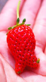 Strawberry fresh from the garden — Stock Photo